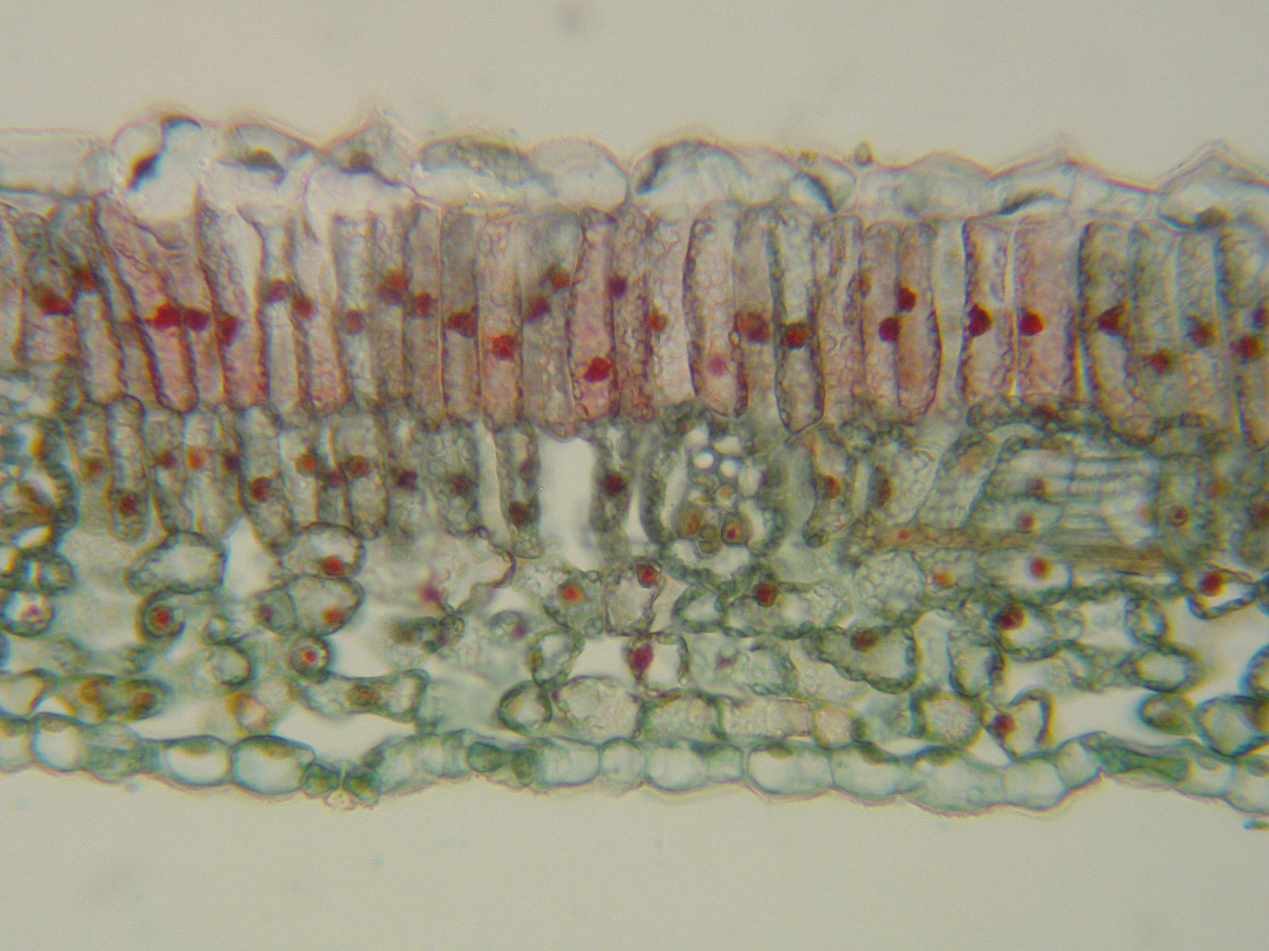 Plant Anatomy Root Stem Leaf