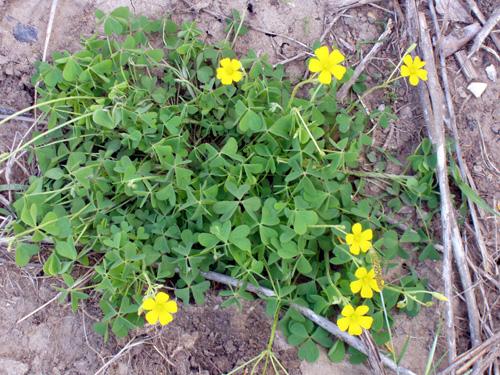 Yellow wood sorrel yellowwoodsorrelg mightylinksfo