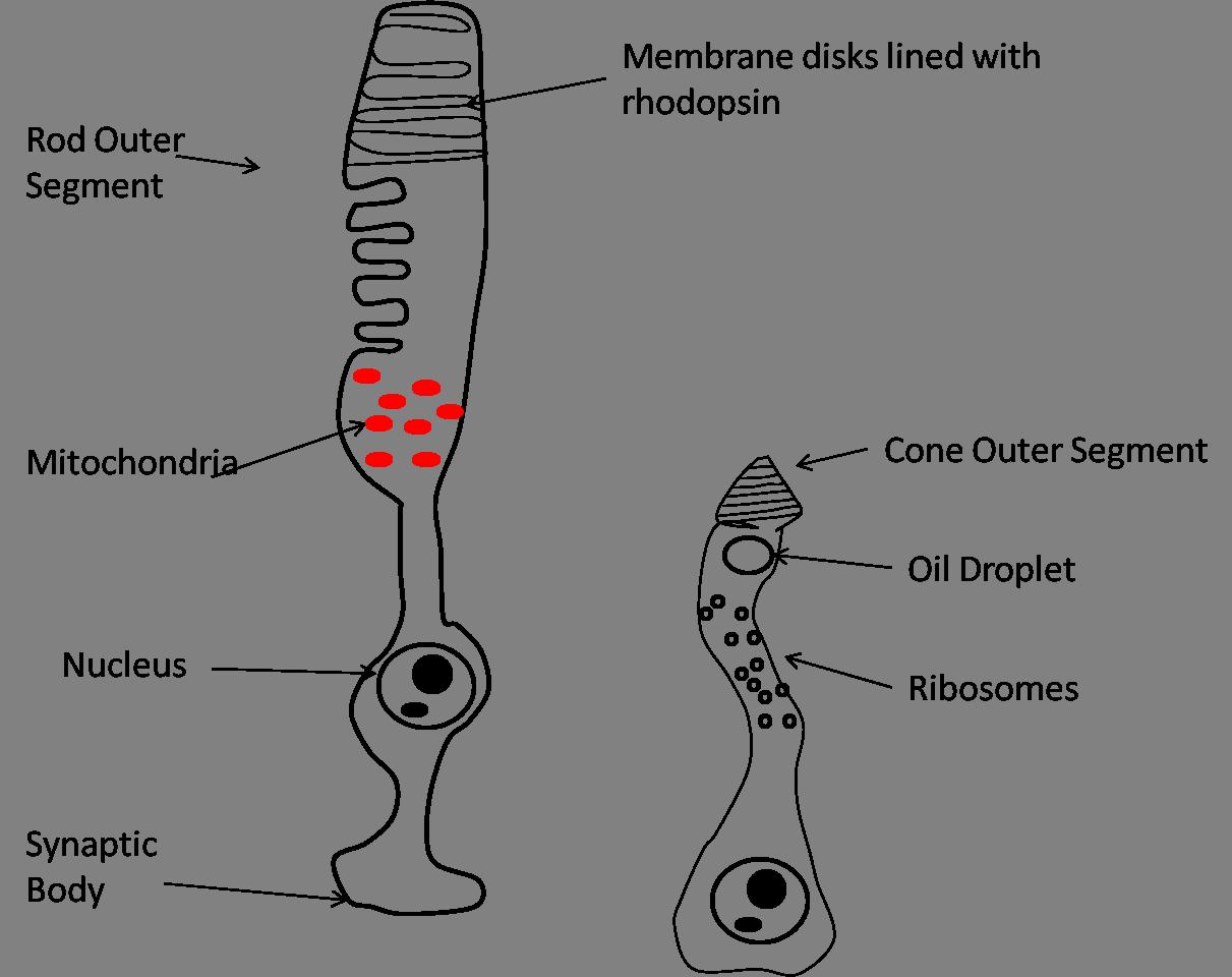 Sensory-Motor Systems